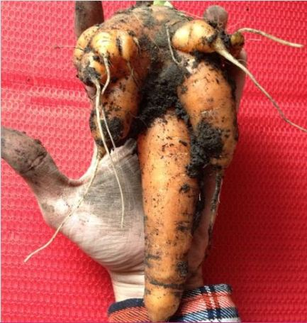 Carrots_Homegrown